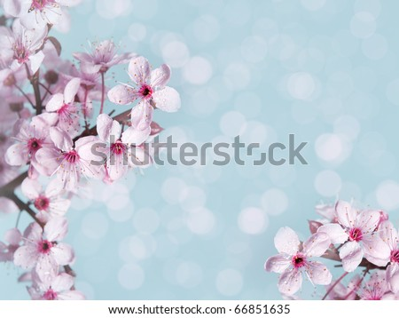 Plum blossoms. - stock photo