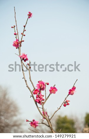 Plum blossoms in early spring. - stock photo