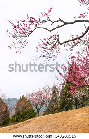 Plum blossoms in early spring, located in Zijin Mountain Scenic Area, Nanjing City, Jiangsu Province, China.