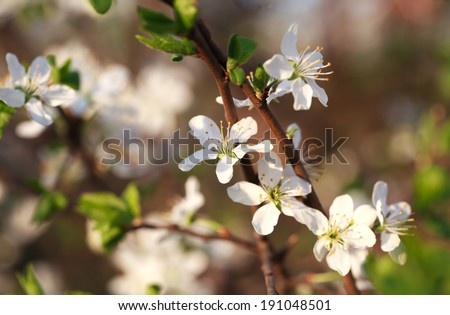 Plum blossoms on the branches at sunset, background. Selective focus, some flowers in focus, some are not - stock photo