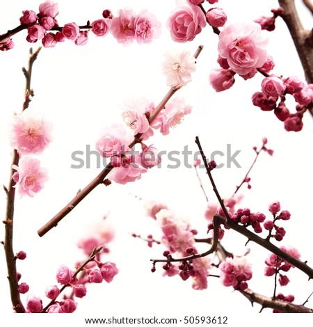plum branch with flowers,Isolated on white.