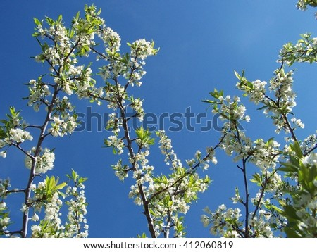 Plum branches to the sky - stock photo