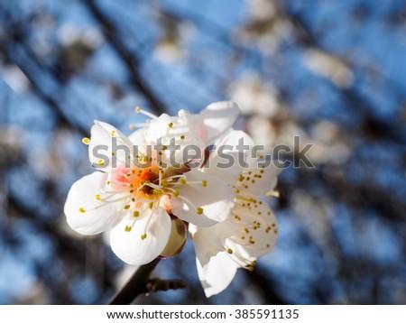 Plum Flower - stock photo