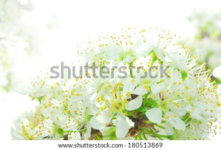 plum flower blossoming immersed in the light of springtime - stock photo