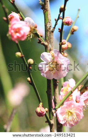 Plum flowers and buds,beautiful pink plum flowers blooming in the garden,,Flowering plum - stock photo