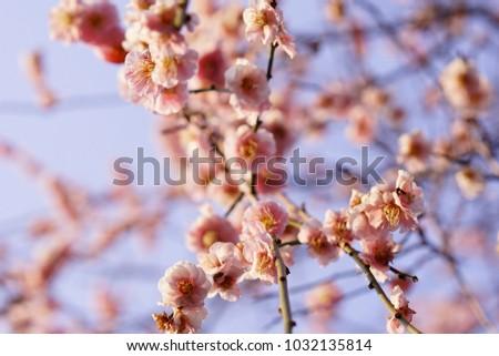 https://thumb7.shutterstock.com/display_pic_with_logo/167494286/1032135814/stock-photo-plum-in-japanese-shrine-1032135814.jpg