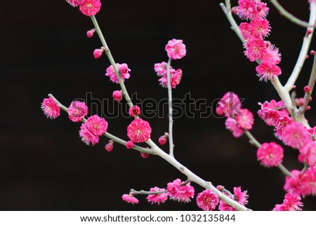 https://thumb7.shutterstock.com/display_pic_with_logo/167494286/1032135844/stock-photo-plum-in-japanese-shrine-1032135844.jpg