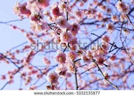 https://thumb7.shutterstock.com/display_pic_with_logo/167494286/1032135877/stock-photo-plum-in-japanese-shrine-1032135877.jpg