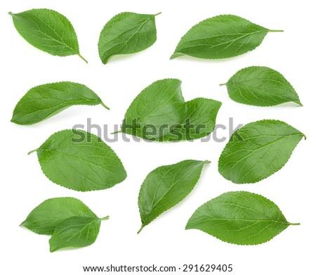 Plum leaves isolated on white background - stock photo