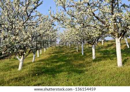 Plum orchard in spring