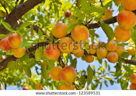 Plum (peach) tree with fruits growing in the garden - stock photo
