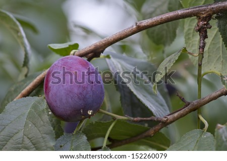 Plum ripening on the branch of a tree.