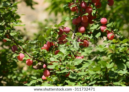 Plum tree branches with ripe fruits - stock photo