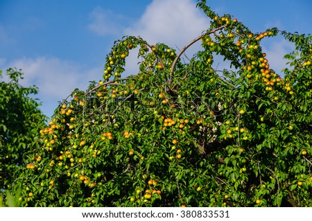 Plum tree branches with ripe fruits against blue sky background, Armenia - stock photo