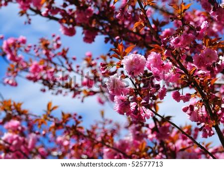 Plum tree foliage with shallow depth of field - stock photo