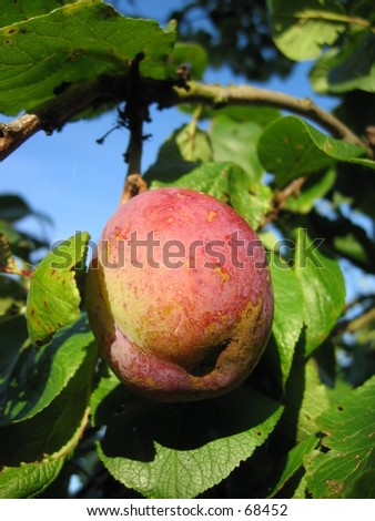 Plum tree with fruit. - stock photo