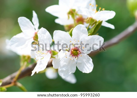 Plum white flowers with the soft background - stock photo