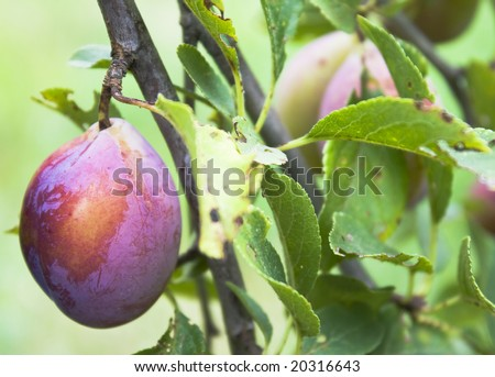 plum with leafs - stock photo