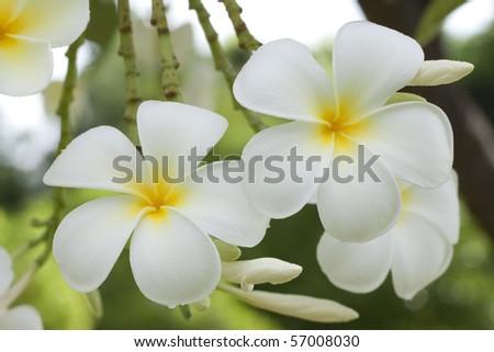 Plumeria alba flowers on blur background - stock photo