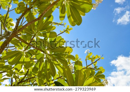 Plumeria and blue sky, bottom view - stock photo
