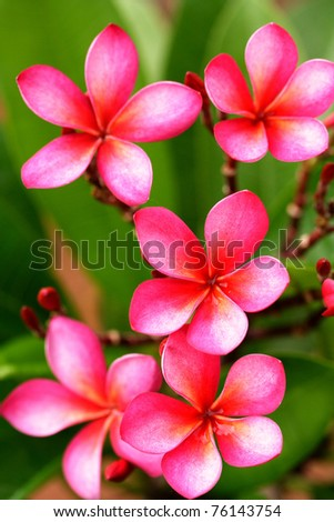 Plumeria Blossoms - stock photo
