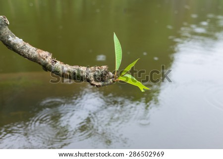 Plumeria branch against ripple water surface with light rain - stock photo