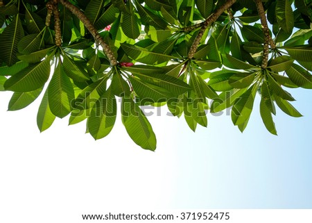 Plumeria branch low angle view, under the sunlight - stock photo