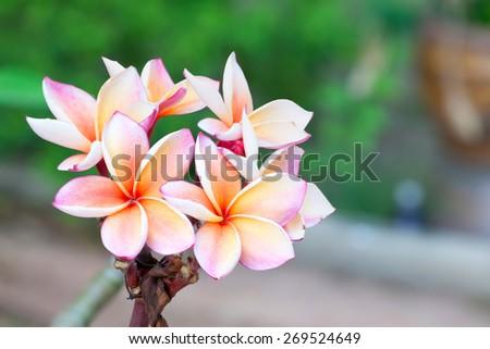 plumeria colorful flower - stock photo