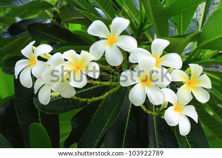 Plumeria (common name Frangipani) is a genus of flowering plants of the family that includes Dogbane: the Apocynaceae.