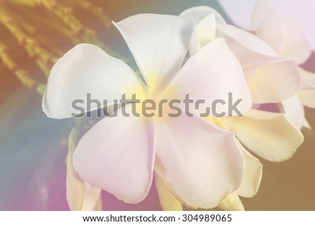 Plumeria flower and blur background by sweet tone. - stock photo