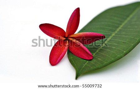 Plumeria flower and leaf isolated on white background - stock photo
