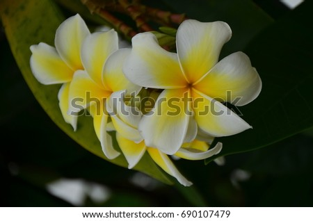 Plumeria flower blooming in the garden .White and Yellow Frangipani Flowers. white and yellow flowers with leaves in background.