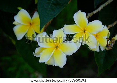 Plumeria flower blooming in the garden. White and yellow frangipani flowers with leaves in background