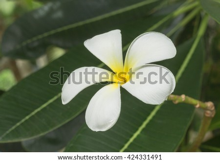 plumeria flower by low key with lighting background,green leaves in natural light and shadow