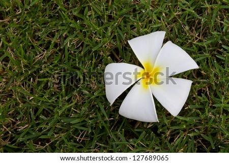 Plumeria flower, Frangipani, on grass background - stock photo
