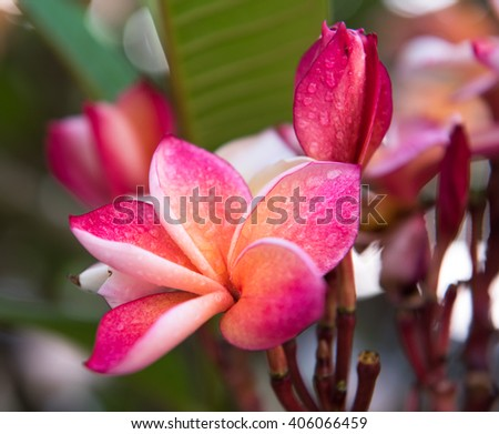 plumeria flower in the garden,select and soft focus