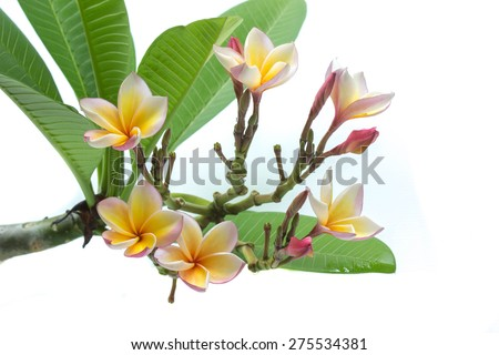 Plumeria flower isolated on white background - stock photo