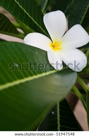 Plumeria flower: white and yellow flower:tropical plant.