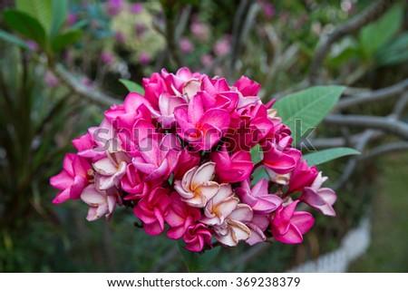 Plumeria Flower Woman - stock photo