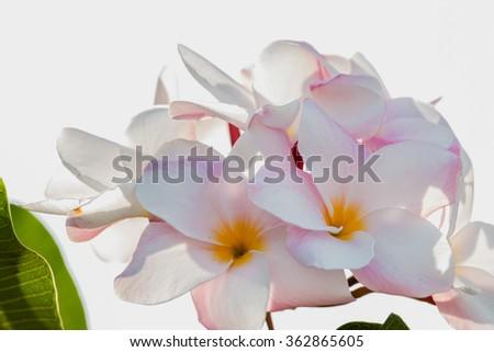 Plumeria flowers - stock photo