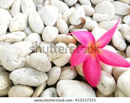Plumeria flowers on pebbles - stock photo