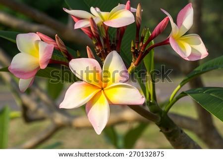 Plumeria  flowers on tree - stock photo