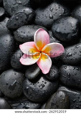 Plumeria flowers on wet black stones background  - stock photo