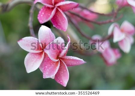 Plumeria flowers (plumeria).frangipani tropical flower - stock photo