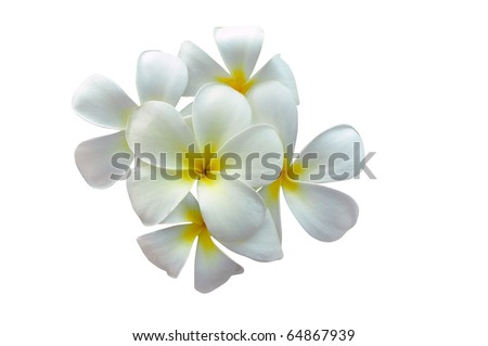 Plumeria flowers several, white flowers - stock photo