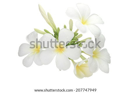 Plumeria flowers several, white flowers frangipani flower isolated white background with cliping path. - stock photo