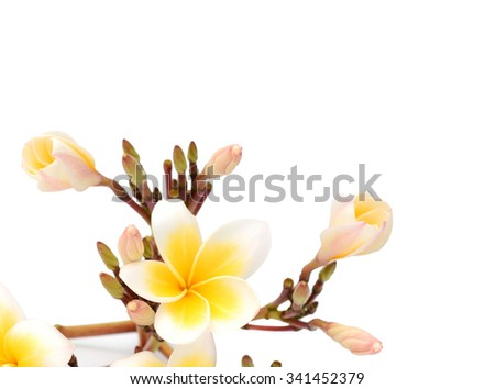 Plumeria frangipani flower on white background - stock photo