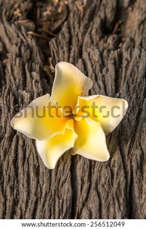 Plumeria (frangipani) flower on wood background - stock photo