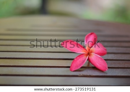 Plumeria frangipani flowers isolated flowers color white pink nature background wall tropical blossom beauty  - stock photo