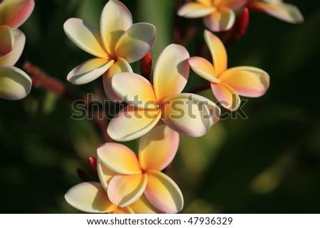 "Plumeria ""Frangipani"" flowers on maui hawaii - stock photo"